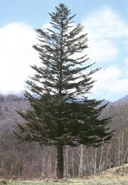 ウラジロモミの木