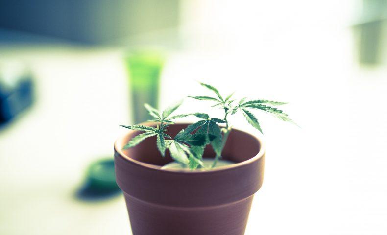 医療用大麻とは?普通の大麻と何が違う?