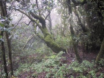 ガラホナイ国立公園のラウリシルバの森
