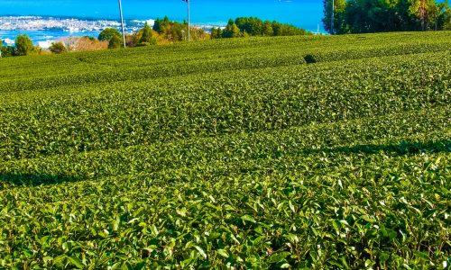 【青空レストラン】茶ノ実油(GOLD TEA OIL)の通販・お取り寄せ情報!