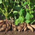 【青空レストラン】ヤーコン(奇跡の健康野菜)の通販・お取り寄せ情報