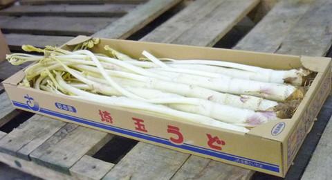 軟化ウド(埼玉産)