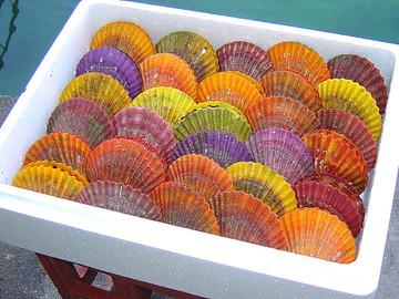 鮮やかな色をしているヒオウギ貝