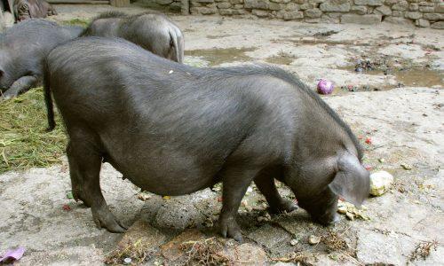【青空レストラン】梅山豚(塚原牧場・茨城県堺市)の通販・お取り寄せ情報!