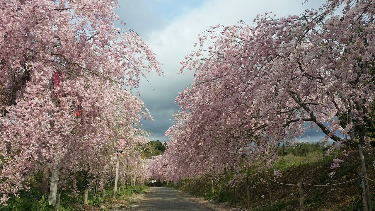 桜のトンネル(たけべの森公園)