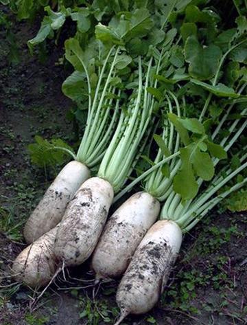 なにわ伝統野菜「田辺大根」
