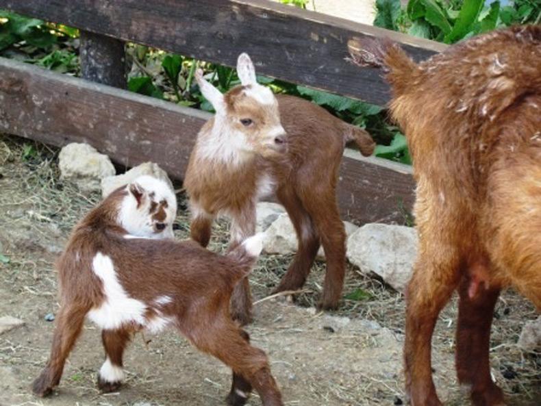 屋久島山羊の赤ちゃん